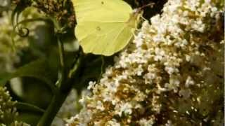 Common Brimstone (Gonepteryx rhamni) on white Butterfly-Bush (Buddleja davidii) [2]