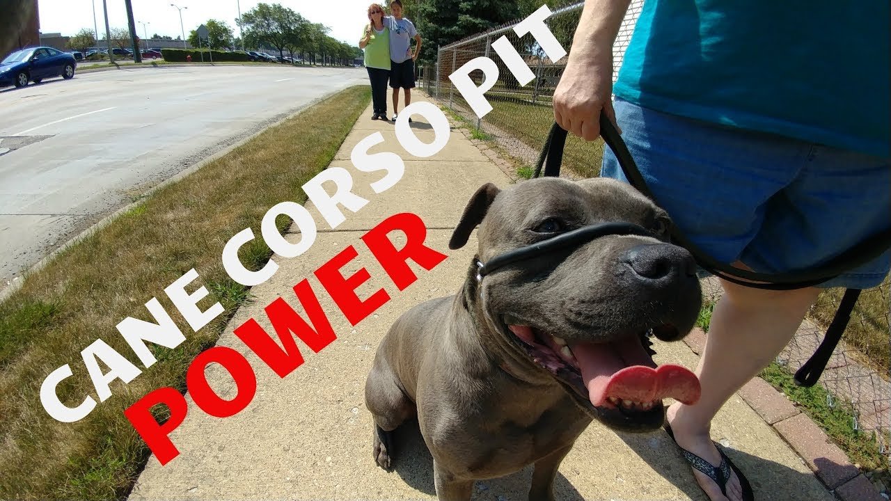 Cesar Dog Training Youtube
