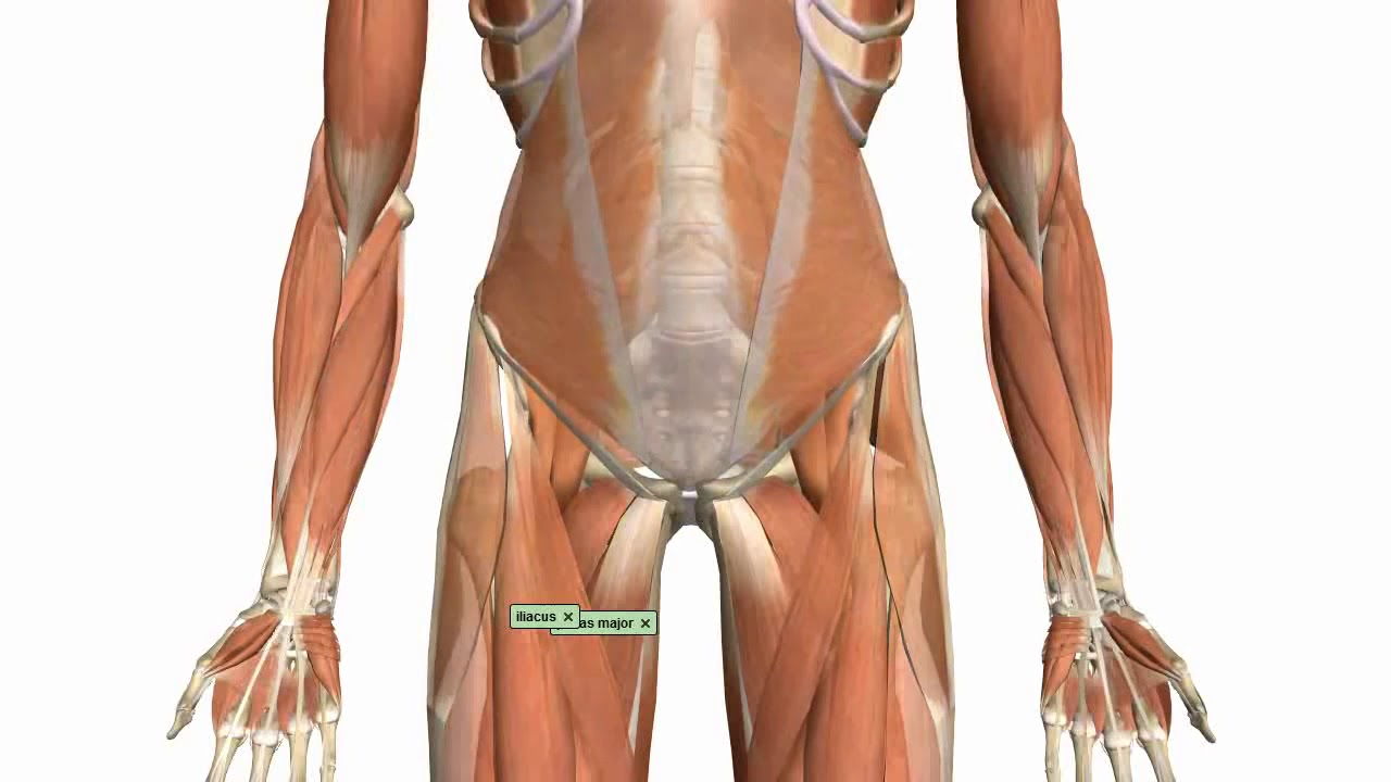 Muscles of the Thigh and Gluteal Region - YouTube