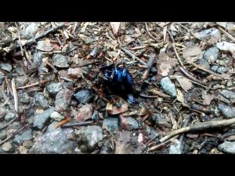 Red wood ants hauling a beetle (slow motion) / Kekomuurahaisia raahaamassa sittiäistä (hidastuskuva)