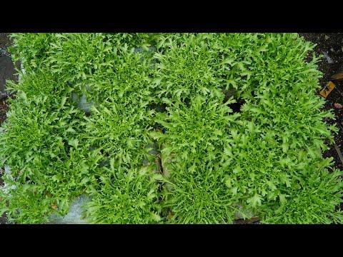 Trồng xà lách hoàng đế, loại rau xa lạ với người Việt Growing emperor lettuce, strange to Vietnamese