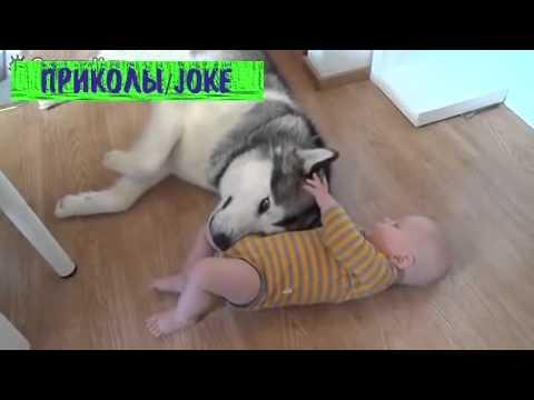 Самые смешные видео с хаски смотреть видео прикол - 6:57