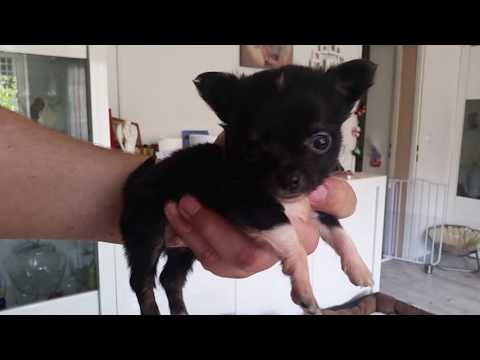 Chihuahua Welpen - 5 Wochen jung