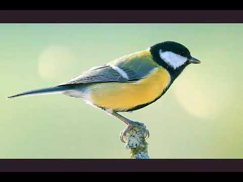 Great tit bird song / call / voice / sound
