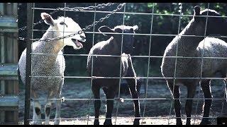 The Screaming Sheep Farm