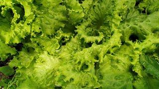 Я обалдела!!! Вот, что можно сделать из листьев салата!!!