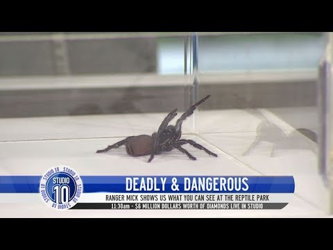 How To Safely Catch A Funnel Web Spider | Studio 10