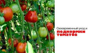Как увеличить урожай томатов.