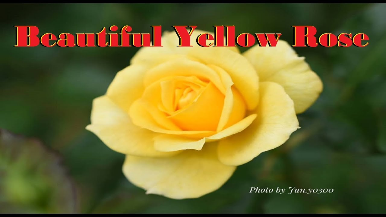 The Most Beautiful Natural Flower Yellow Rose In America Youtube