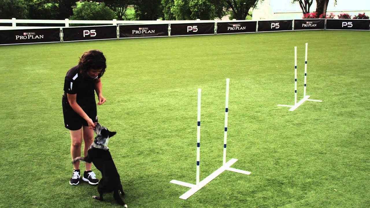 How To Start Training Your Dog In Agility