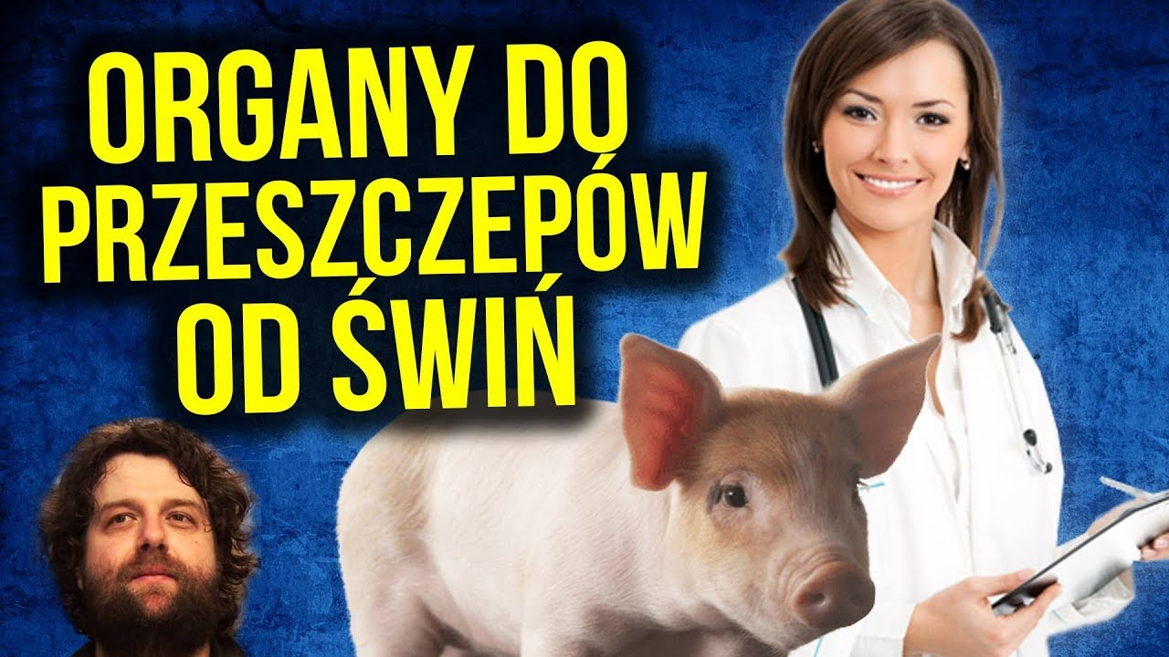 PRZEŁOM W MEDYCYNIE: Narządy do Przeszczepów HODOWANE na Świniach w Japonii – Komentator