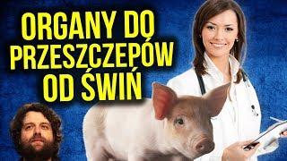 PRZEŁOM W MEDYCYNIE: Narządy do Przeszczepów HODOWANE na Świniach w Japonii - Komentator