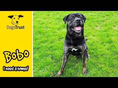 Bobo the Rottweiler Absolutely Loves His Toys! | Dogs Trust Darlington