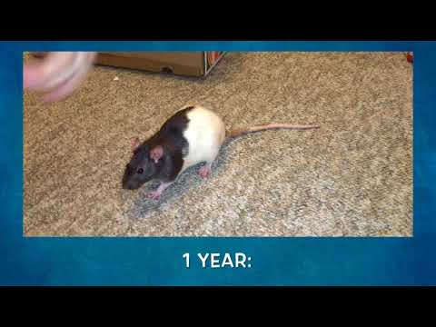 Rats Spinning Through Time!