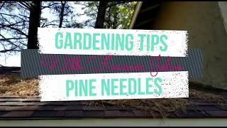 Strawberries love Pine Needles!