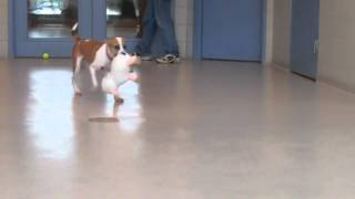 Padoodles A Boxer: Beagle Mix Available For Adoption At The Wisconsin Humane Society