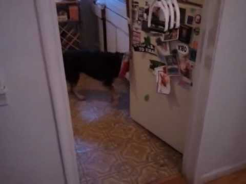 dog-commands-play-frisbee-open-fridge-cool-video