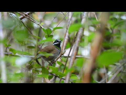Mystacorne de Crossley (Crossley's Vanga) @ Parc national de Ranomafana