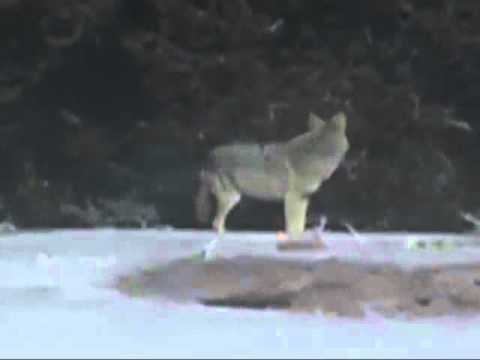 Coyote on Old Faithful Webcam Yellowstone 1138AM Jan 11, 2012