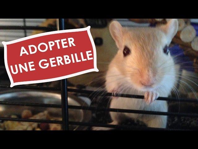 Adopter Une Gerbille تربية يربوع Youtube