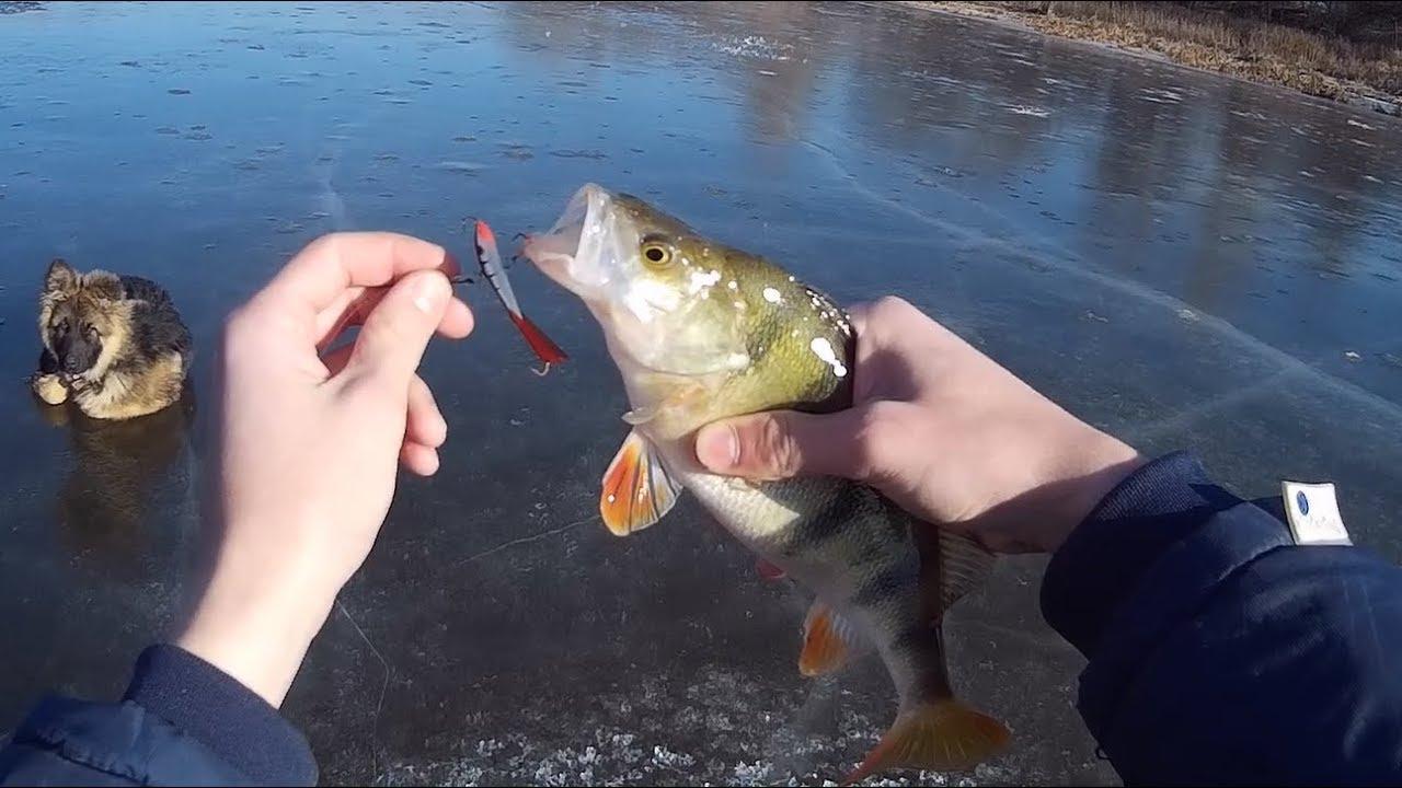 ОГРОМНЫЙ окунь на БАЛАНСИР! Клев крупного окуня! Зимняя рыбалка по последнему льду.