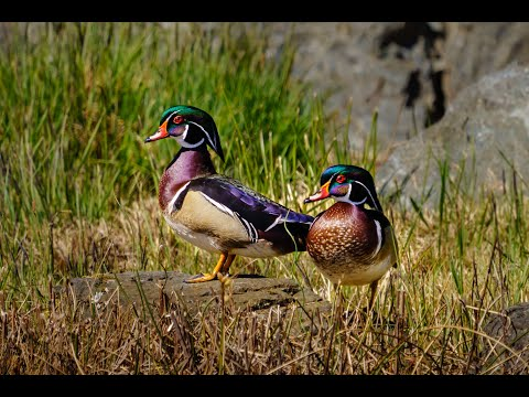 Building a Wood Duck Nesting Box