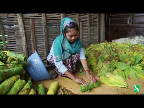 Children Labor in Indonesia's Tobacco Fields: Human Rights Watch