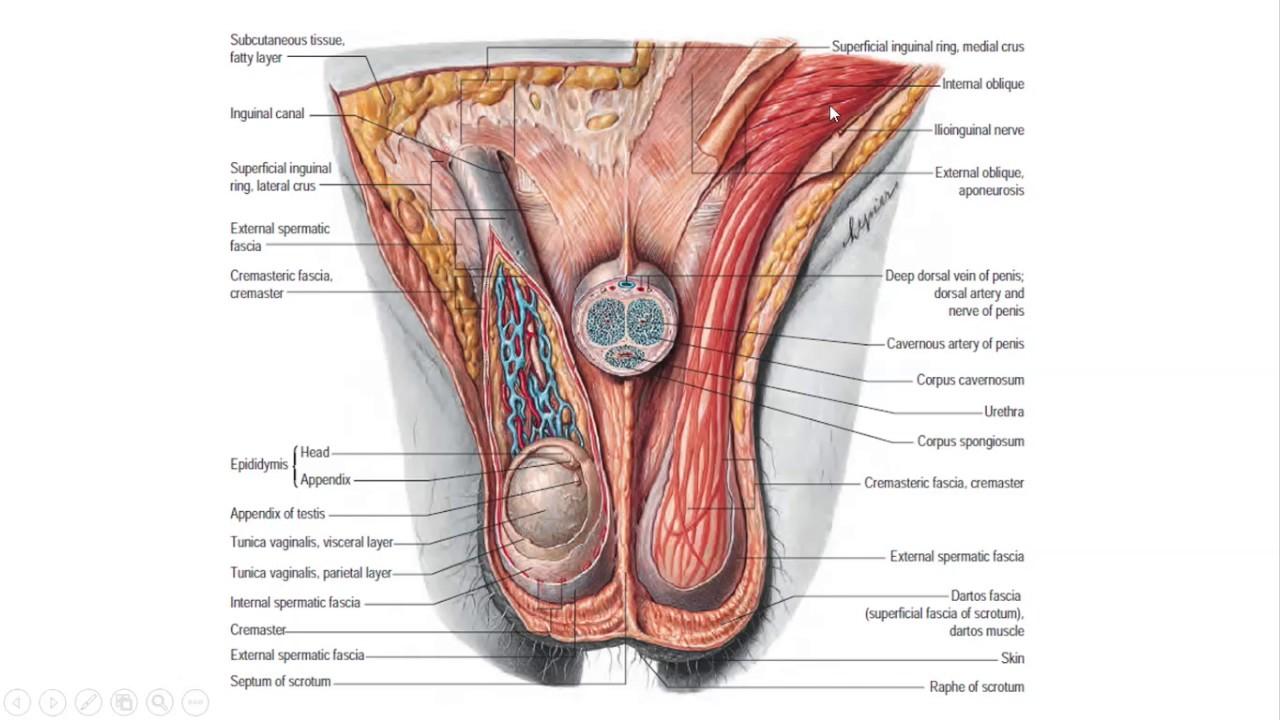 Sistema Reproductor Masculino (Anatomía, Fisiología, Histología ...