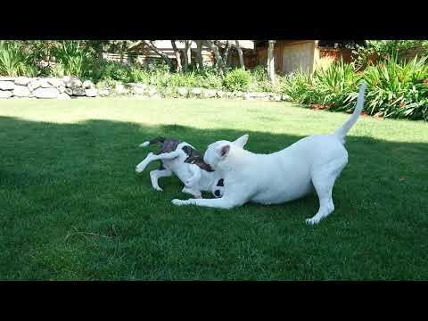 Bull terrier puppy and male bull terriers wrestling