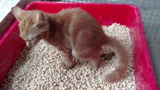 Tigirl use pine wood pellets cat litter