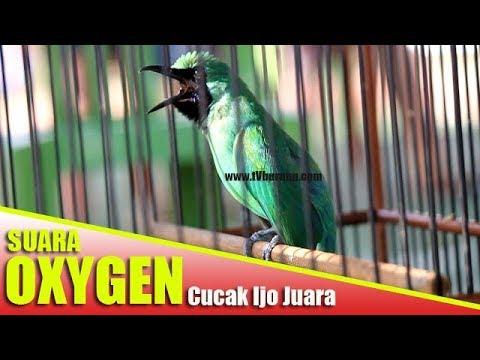 NGerii... Suara Cucak IJo Juara 1 | Oxygen Milinya Een Gobles