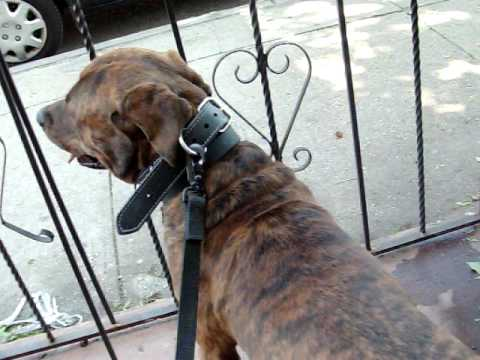 male bullmastiff mixed with pitbull and rottweiler and female cane corso and ...