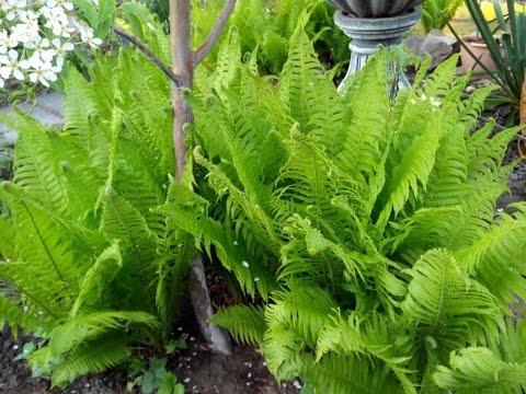 Папоротник (растение) – полезные свойства и применение