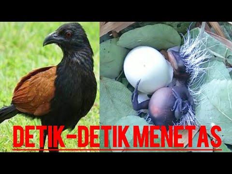 Moment Langka Sarang Burung Bubut Baru Menetas Di Alam Liar Wild Bird Egg Hatch Youtube