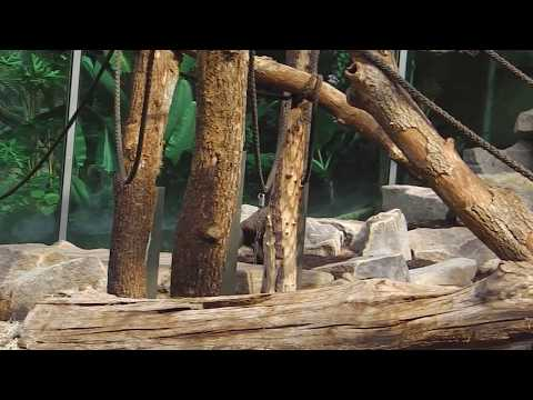 Gorillas Tano  - Okanda - Nafi - Tierpark Hellabrunn