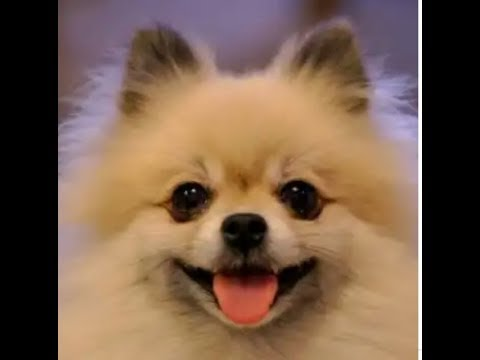 Useful information about Pomeranian dog breed in hindi [YTP PETS ]