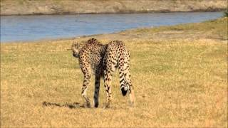 Female Cheetah charged by a Waterbuck cow