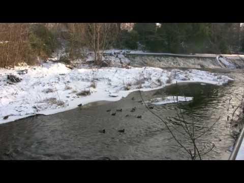 Edinburgh: Frozen ducks on Water of Leith