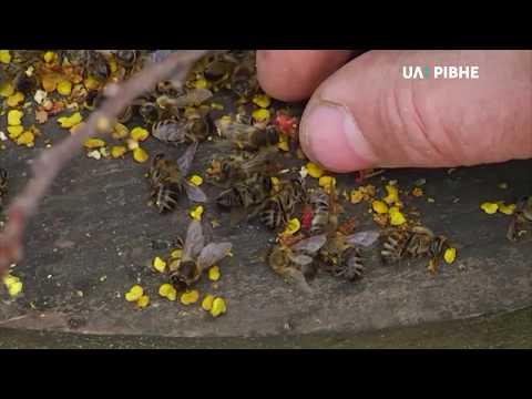 Телеканал UA: Рівне: Пасічники заявляють про мор бджіл, загиблих особин забрали на дослідження