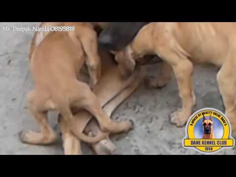 Dane Kennel Club India