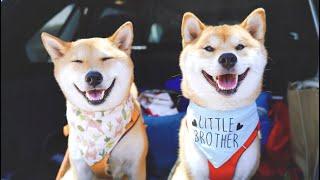 柴犬Haki小woo的幸福周末!拆箱专属画像 疫情后第一次去狗公园