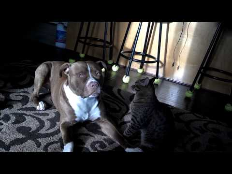 Red nose pitbull and cat wrestling