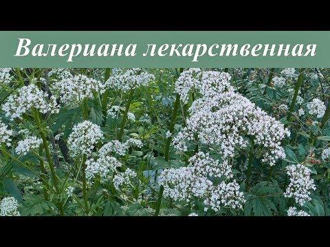 Как выглядит валериана трава фото
