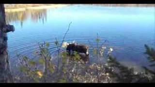 Manitoba Hunting - Moose at Canadian SubArctic Hunting