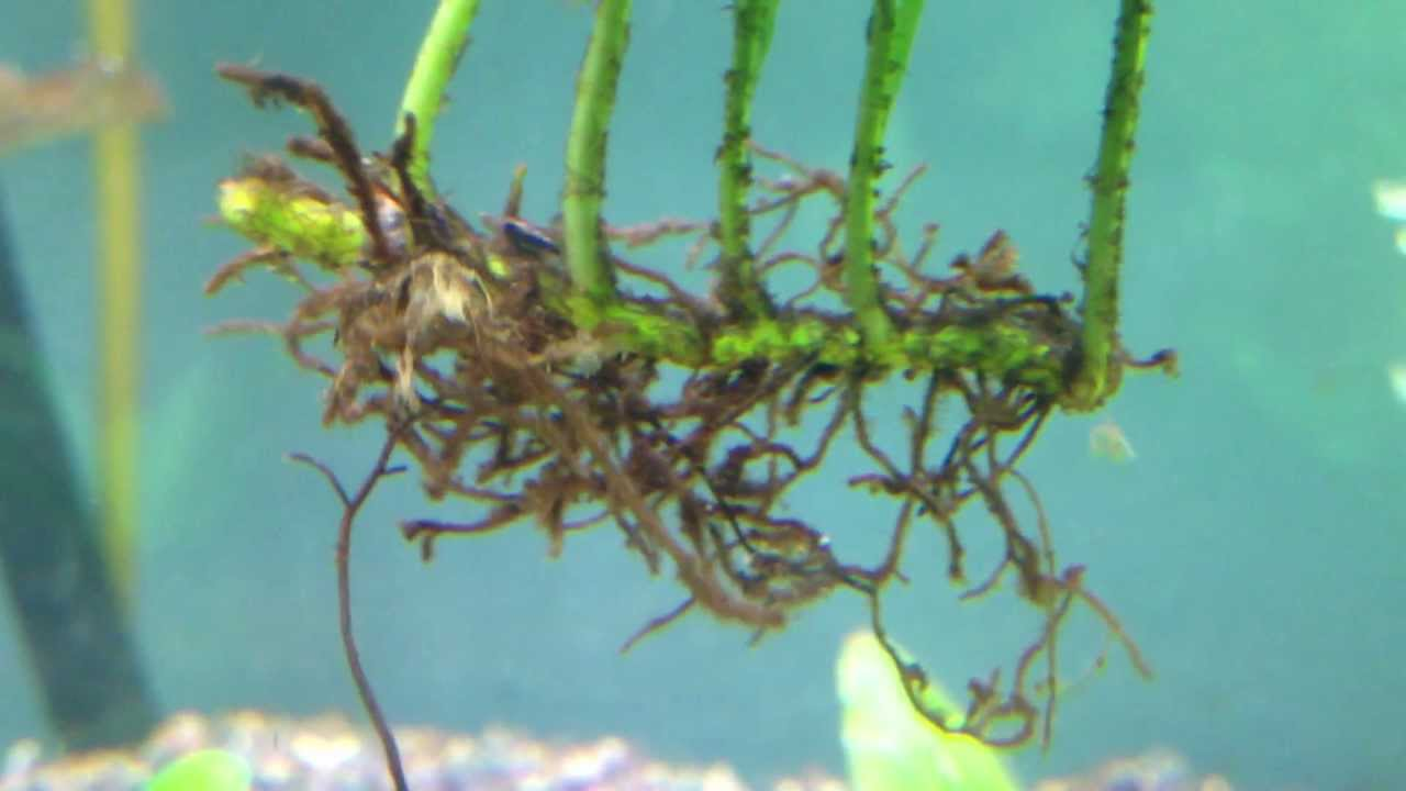 Peacock Fern Aquarium Plant