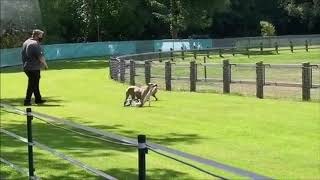 Deerhound & Whippets on the racetrack in cologne von der Weidenvilla