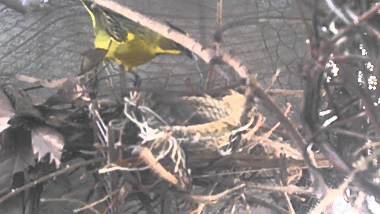 Cria de cardenal amarillo en cautiverio 2012 4 youtube for Cria de peces en cautiverio