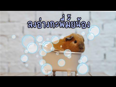 EP 6 อาบน้ำหนูแกสบี้ ง่ายมากๆ  | Bath Guinea Pig | Chabie Bird