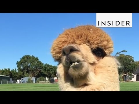What It's Like To Have A Pet Alpaca