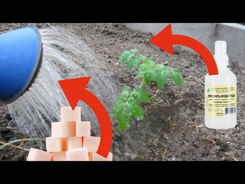 Отличная подкормка для рассады и комнатных цветов из сахара и перекиси водорода